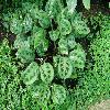 MarantaLeuconeuraKerchoviana4.jpg 1127 x 845 px 234.44 kB