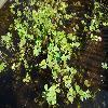 MarsileaQuadrifolia.jpg 1167 x 875 px 262.36 kB