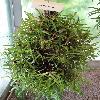 Maxillaria.jpg 681 x 908 px 367.02 kB