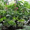 MegaskepasmaErythrochlamys3.jpg 681 x 908 px 410.07 kB