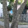 MeliaAzedarach11.jpg 720 x 960 px 446.39 kB