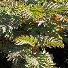 MelianthusMajor.jpg 600 x 900 px 417.23 kB