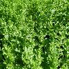 MenthaSpicataCrispa3.jpg 1127 x 845 px 280.67 kB