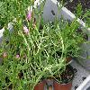 Mesembryanthemum2.jpg 1127 x 845 px 219.05 kB