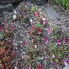 MesembryanthemumBellidiformis5.jpg 1024 x 768 px 309.43 kB