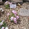 MesembryanthemumBellidiformis.jpg 1024 x 768 px 319.25 kB