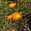 MesembryanthemumGlaucoides.jpg 800 x 1200 px 553.16 kB