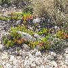 Mesembryanthemum.jpg 1136 x 852 px 346.27 kB