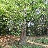 MetasequoiaGlyptostroboides6.jpg 630 x 840 px 224.63 kB