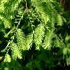 MetasequoiaGlyptostroboides.jpg 640 x 480 px 87.03 kB