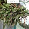 MicroterangisHariotiana.jpg 720 x 960 px 347.15 kB
