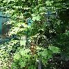 MimosaAsperata3.jpg 681 x 908 px 463.28 kB