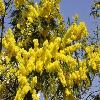 Mimosa.jpg 1024 x 680 px 204.28 kB