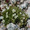 MinuartiaBiflora.jpg 800 x 541 px 321.13 kB