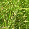 MiscanthusSinensisZebrinus2.jpg 576 x 768 px 107.45 kB