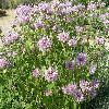 MonardaFistulosa3.jpg 1280 x 960 px 313.98 kB