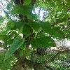 MorusAlba4.jpg 678 x 908 px 334.23 kB