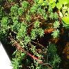 MyriophyllumAquaticum2.jpg 1024 x 768 px 266.72 kB