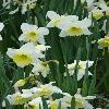 NarcissusIceFollies2.jpg 720 x 960 px 245.49 kB