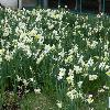 NarcissusIceFollies.jpg 1024 x 768 px 246.84 kB