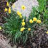 Narcissus.jpg 1024 x 768 px 239.41 kB