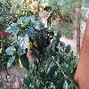 NematanthusFluminensis.jpg 1200 x 900 px 262.1 kB