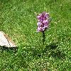 NeotineaTridentata2.jpg 675 x 900 px 437.18 kB