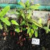 NepenthesAmpullariaWilliamsRed.jpg 1024 x 768 px 216.71 kB