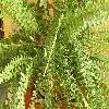 NephrolepisExaltata3.jpg 1024 x 768 px 232.12 kB