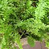 NephrolepisExaltata.jpg 709 x 753 px 150.94 kB