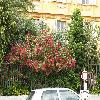 NeriumOleander15.jpg 1110 x 833 px 297.03 kB