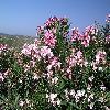NeriumOleander19.jpg 1095 x 821 px 265.05 kB