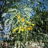 NicotianaGlauca.jpg 799 x 599 px 121.32 kB