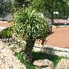 Nolina2.jpg 1110 x 833 px 308.01 kB