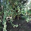 NothofagusAntarctica2.jpg 1219 x 914 px 344.22 kB