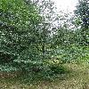 NothofagusAntarctica4.jpg 681 x 908 px 477.75 kB
