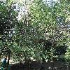 NothofagusAntarctica.jpg 681 x 908 px 305.16 kB