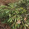 NotholithocarpusDensiflorus.jpg 797 x 1200 px 585.48 kB