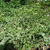OenotheraBiennis.jpg 638 x 850 px 223.32 kB