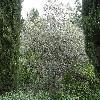 OleaEuropaea11.jpg 1045 x 784 px 272.79 kB