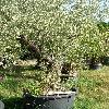 OleaEuropaea12.jpg 615 x 820 px 211 kB