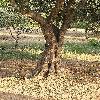 OleaEuropaea2.jpg 576 x 768 px 193.93 kB