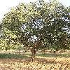 OleaEuropaea3.jpg 576 x 768 px 200.19 kB