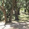 OleaEuropaea9.jpg 1110 x 833 px 304.19 kB