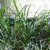 OphiopogonJaburan2.jpg 1024 x 768 px 212.69 kB