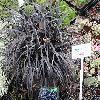 OphiopogonPlaniscapusNigrescens3.jpg 1024 x 768 px 255.82 kB