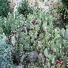 Opuntia33.jpg 1095 x 821 px 294.64 kB