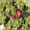 Opuntia39.jpg 1127 x 845 px 265.8 kB