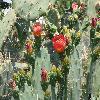 Opuntia9.jpg 1110 x 833 px 204.88 kB