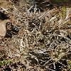 OpuntiaArticulata.jpg 797 x 1200 px 536.75 kB